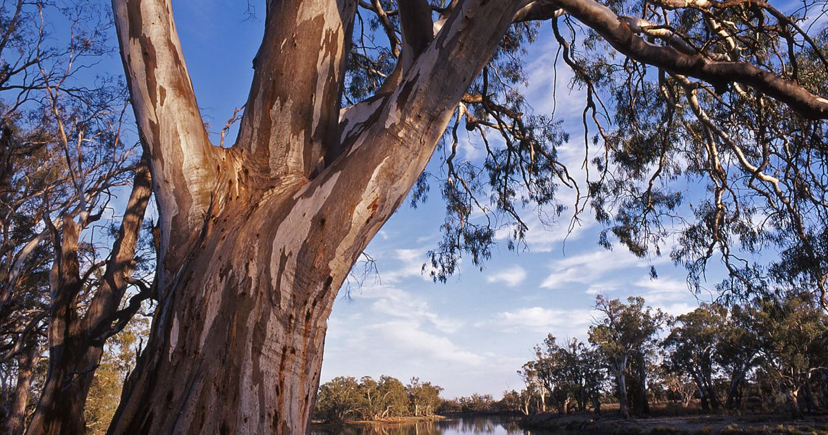 hanging over the banks of the Murray River at Ned's Corner. Ned's Corner is a former sheep station and the largest freehold property in Victoria, which was aquired by the Trust for Nature with the assistance of The Nature Conservancy and the RE Ross Trust.