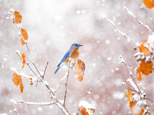 Bluebird on snowy branch with orange leaves