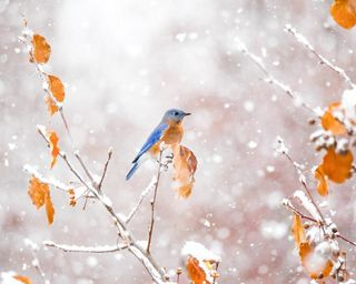 An eastern bluebird's rusty orange chest and last remaining leaves are bright pops of color in an early snowstorm.