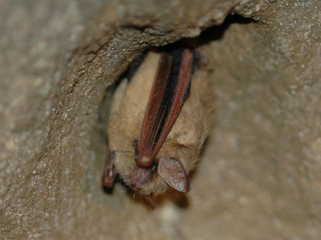 A small bat clings to a rock.