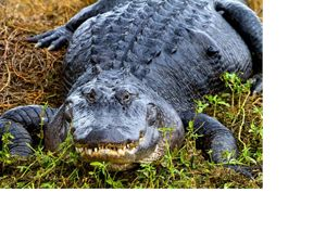 Large american alligator facing the viewer.