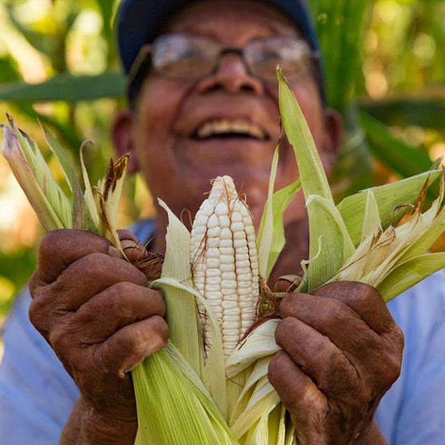 "79-year-old Dionisio Yam Moo checks on his corn in his ""milpa"" personal agricultural field."