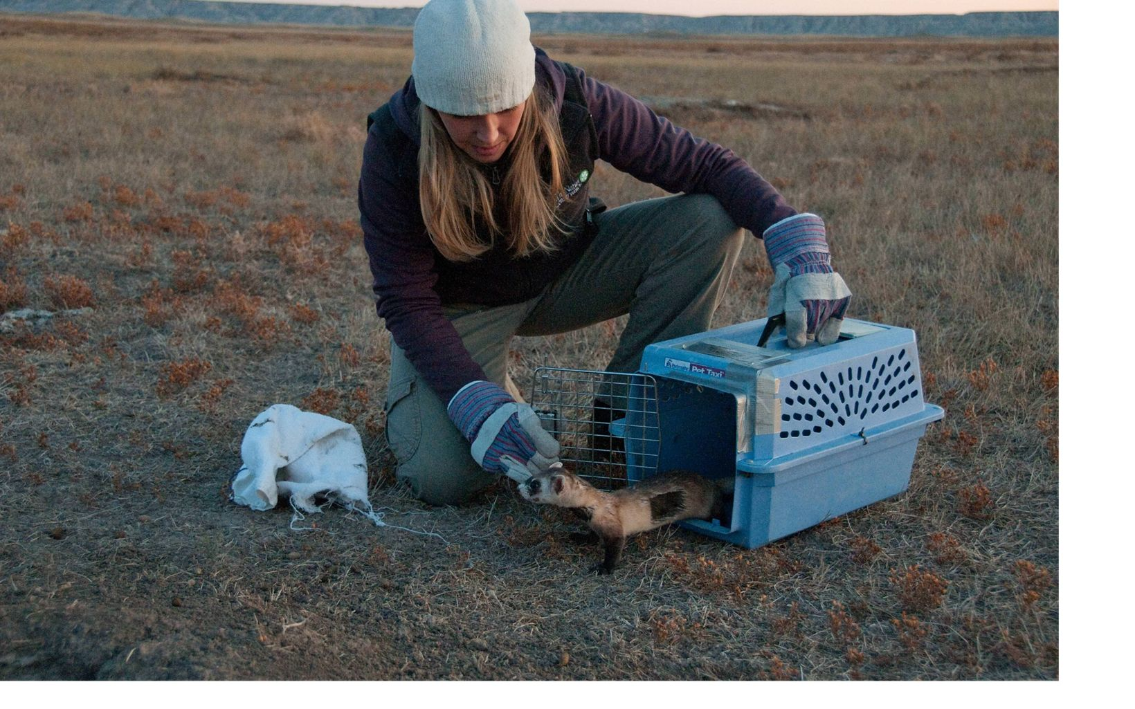 Conservancy staff Karla Suckling releases endangered black-footed ferret back to where it was captured after its exam and inoculations by a wildlfe biologist.