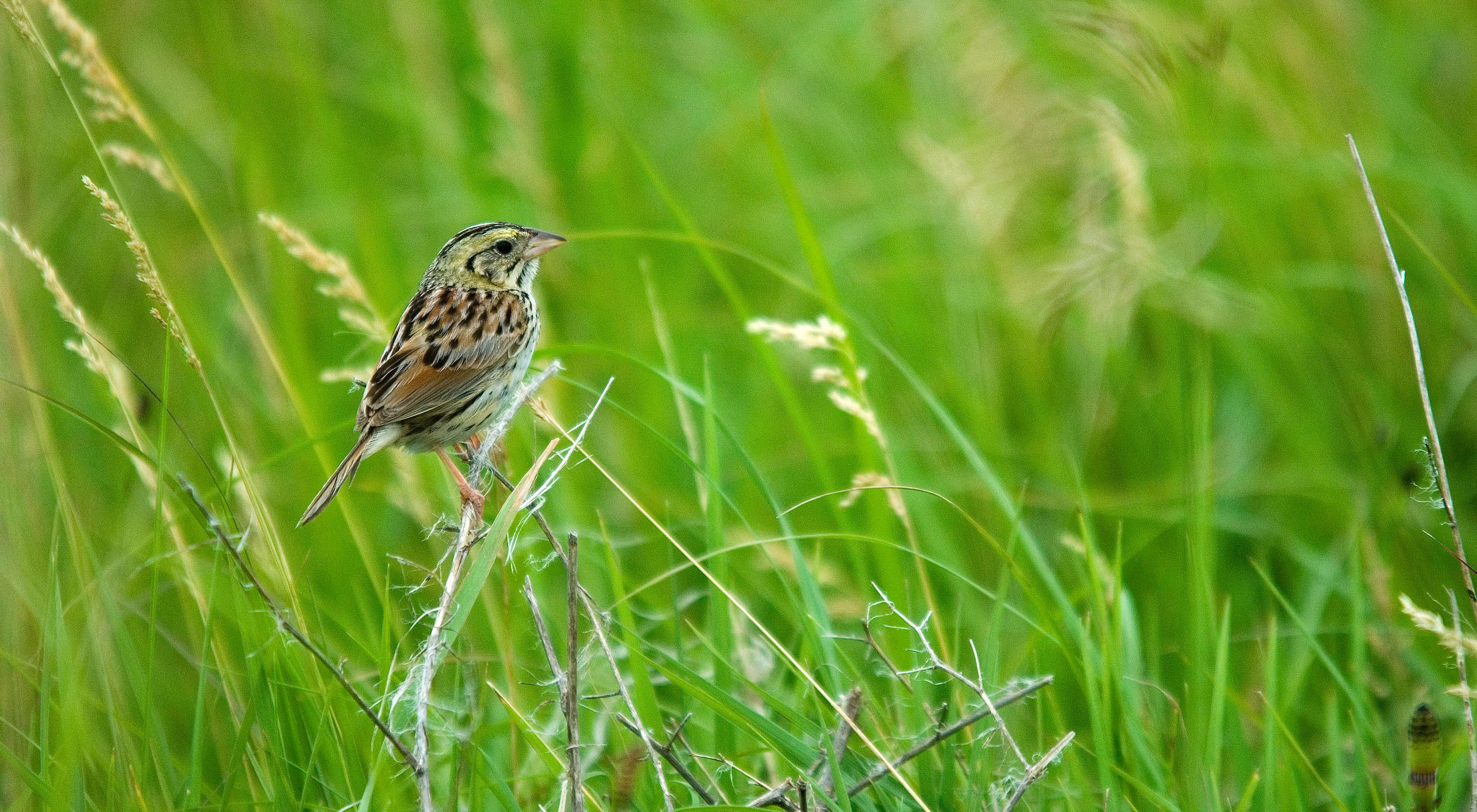 Henslow's sparrow on prairie grasses