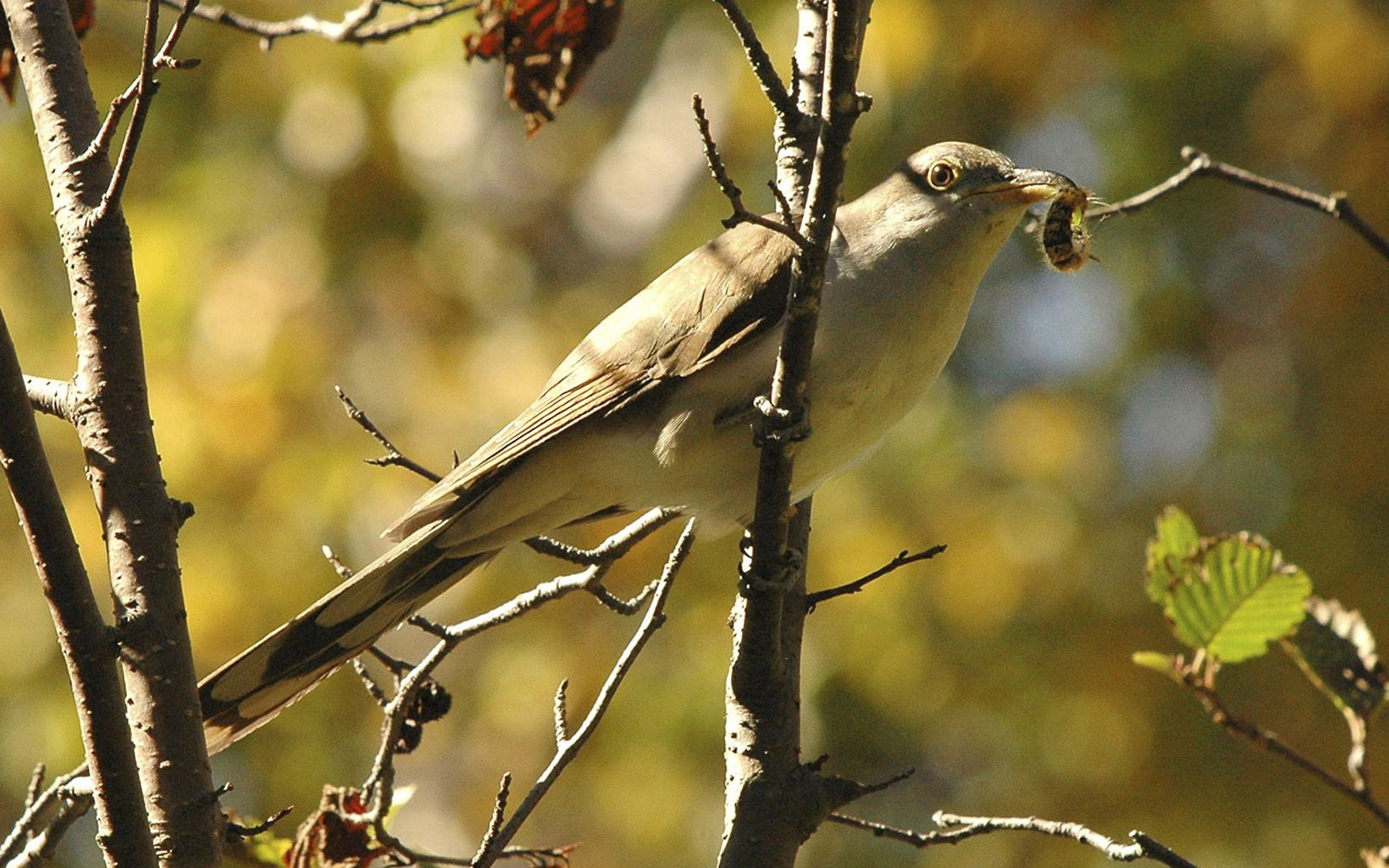 Yellowish bird with bug in its mouth perched on branch.
