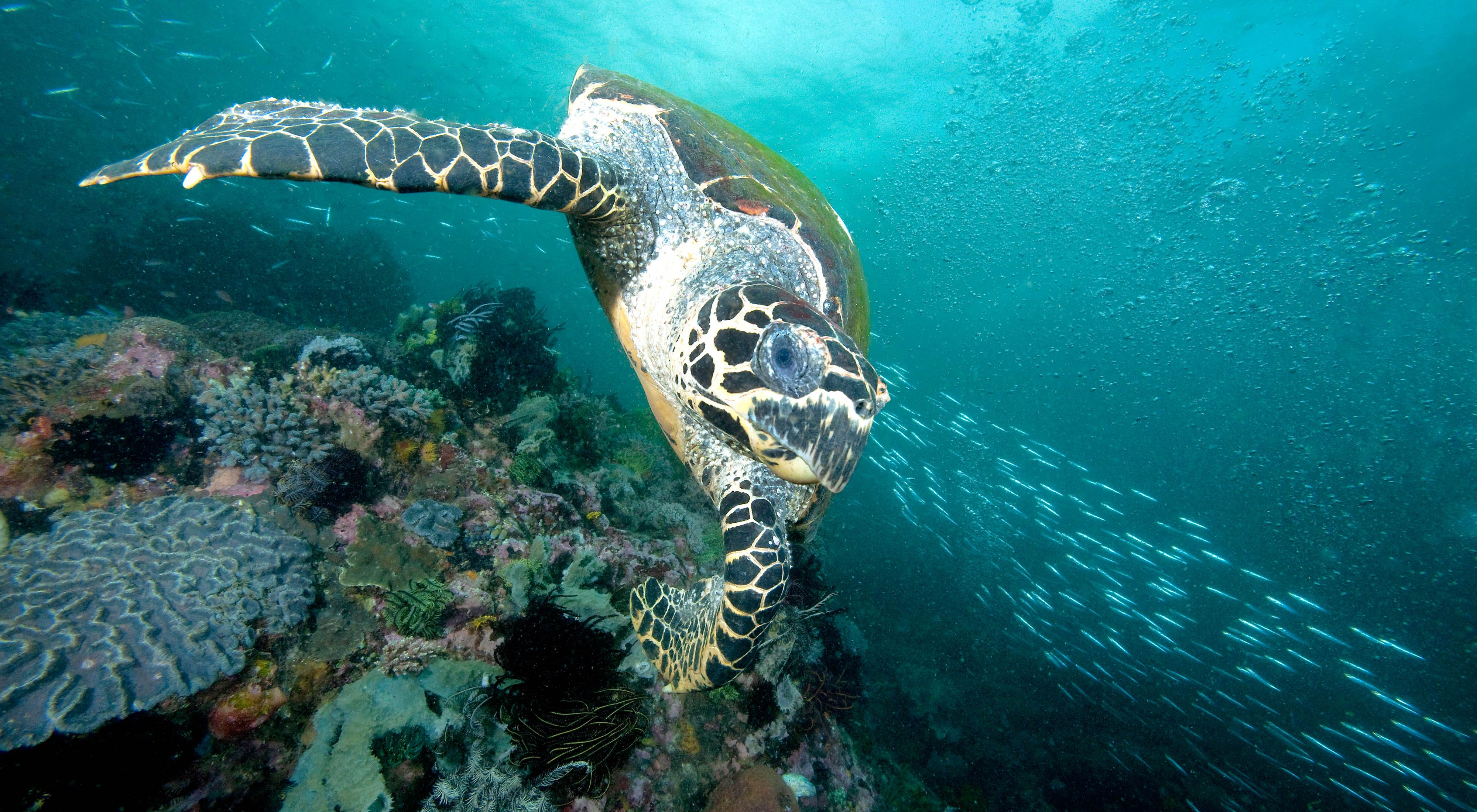 front view of a sea turtle gliding over coral