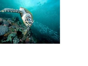 front view of a sea turtle gliding over some coral