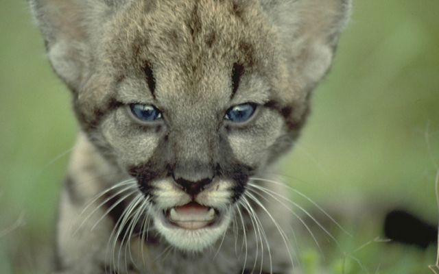 Close up of Florida panther kitten face.