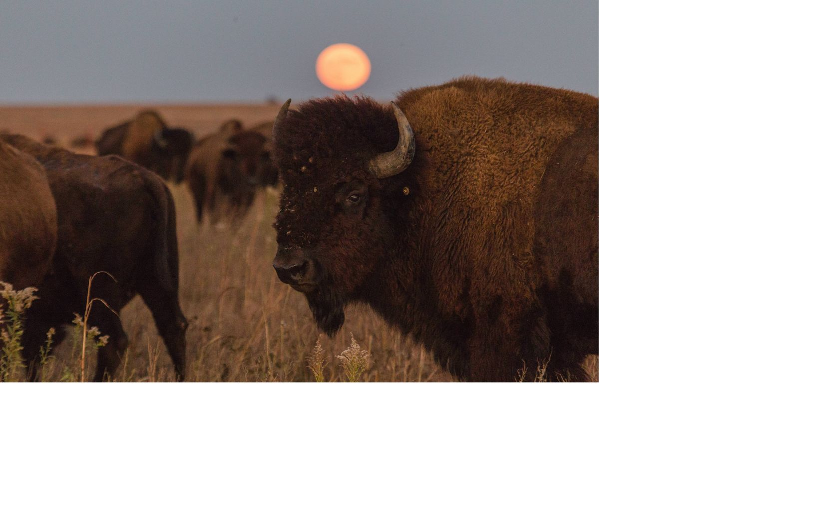 a full harvest moon rises over the herd at Tallgrass Prairie Preserve, Pawhuska, Oklahoma.