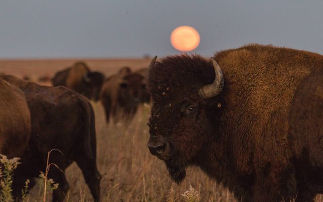 A full moon rises over the prairie and the bison herd.