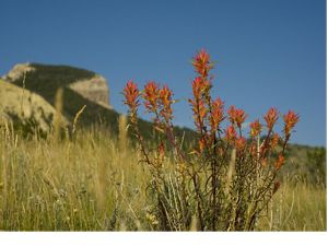 grows at the base of The Nature Conservancy's Heart Mountain Ranch Preserve, Wyoming.