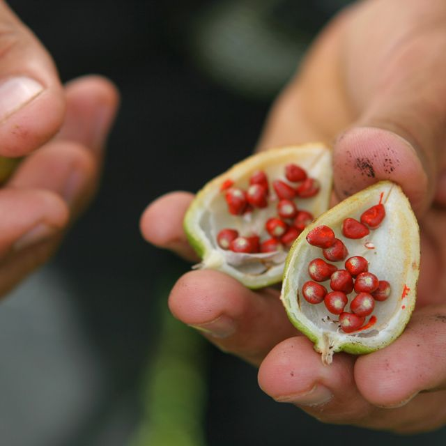 Seeds in fruit used for dyes and make-up in Las Marias, an indigenous Pech community.