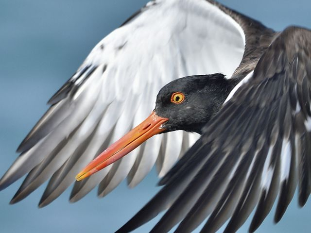 Close up view of a white and black American oystercatcher in flight. Its head with bright orange beak and wings are visible.