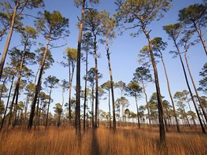 Photo of a longleaf pine forest.