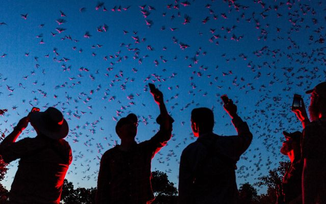 People watch bats emerge at dusk