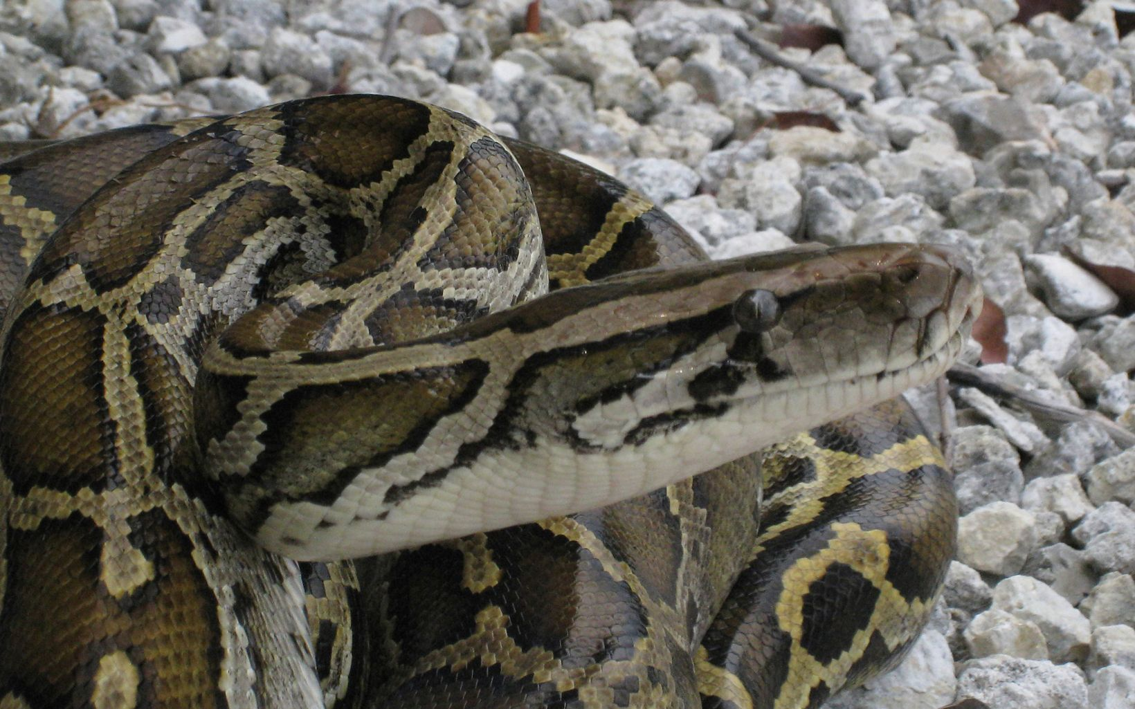 A large Burmese python coiled up with its head sticking out.