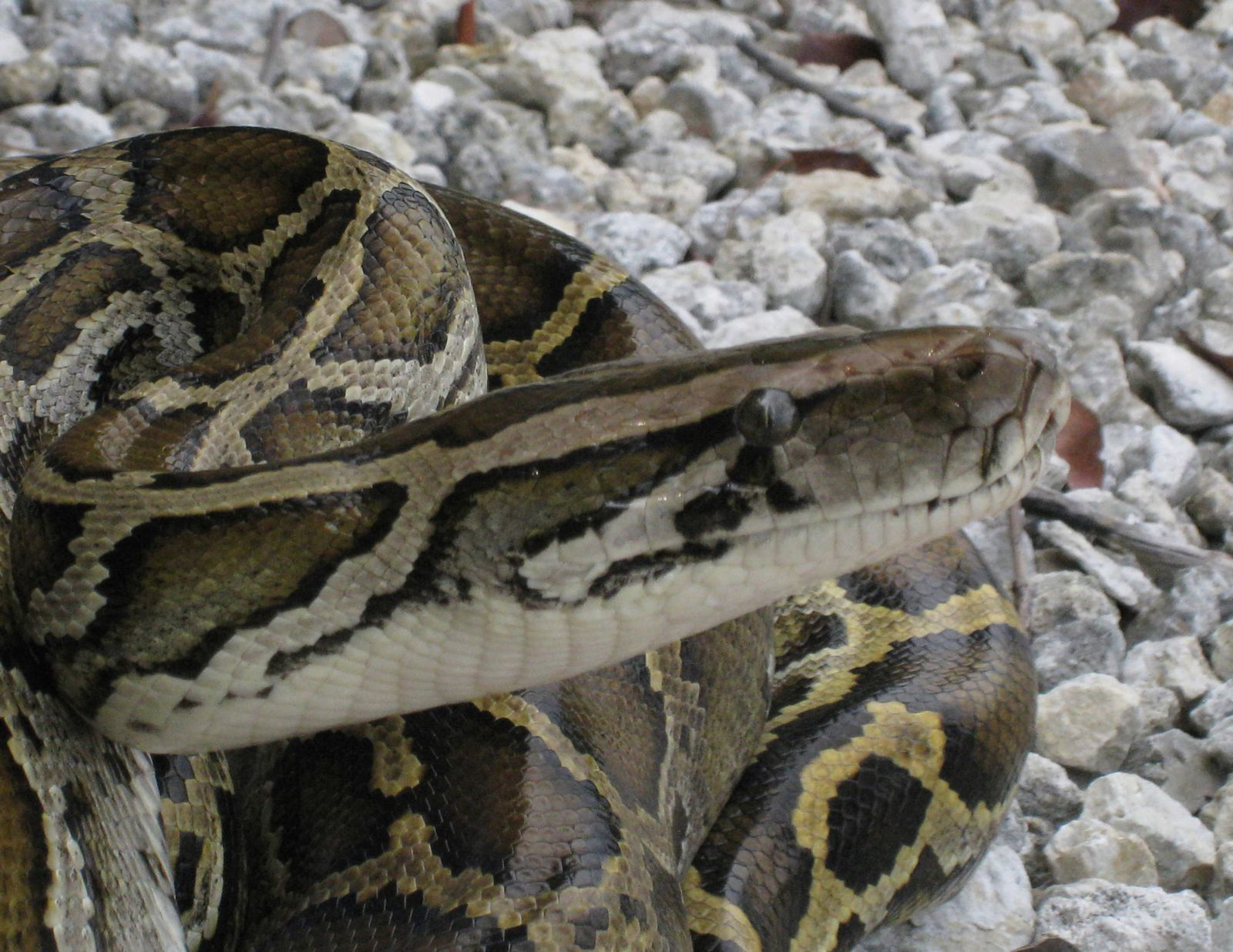 Stopping a Burmese Python Invasion
