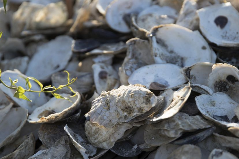 Closeup of a pile of empty oyster shells.