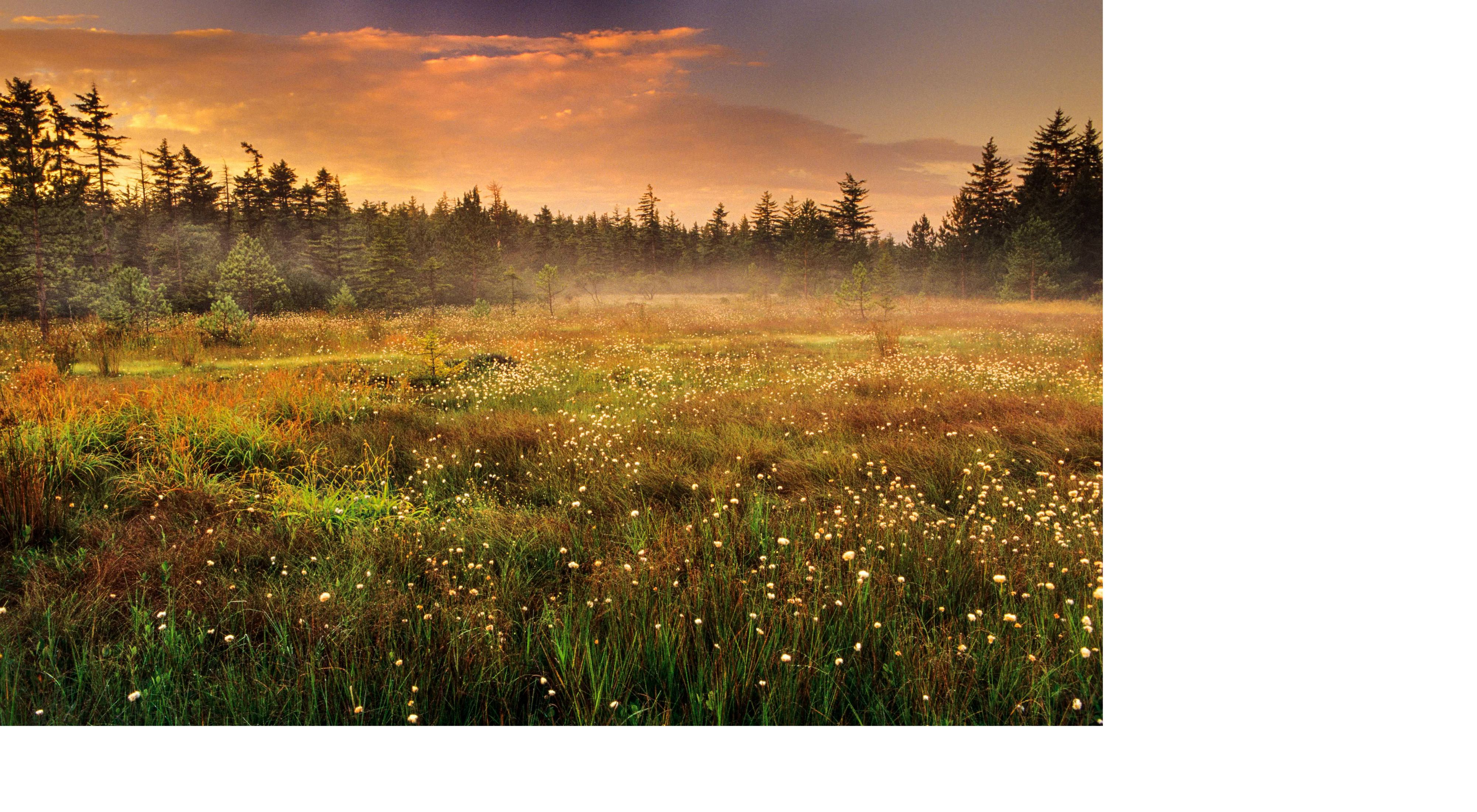 Cotton grass in wetlands at Dolly Sods Scenic Area, Dolly Sods Wilderness, West Virginia.
