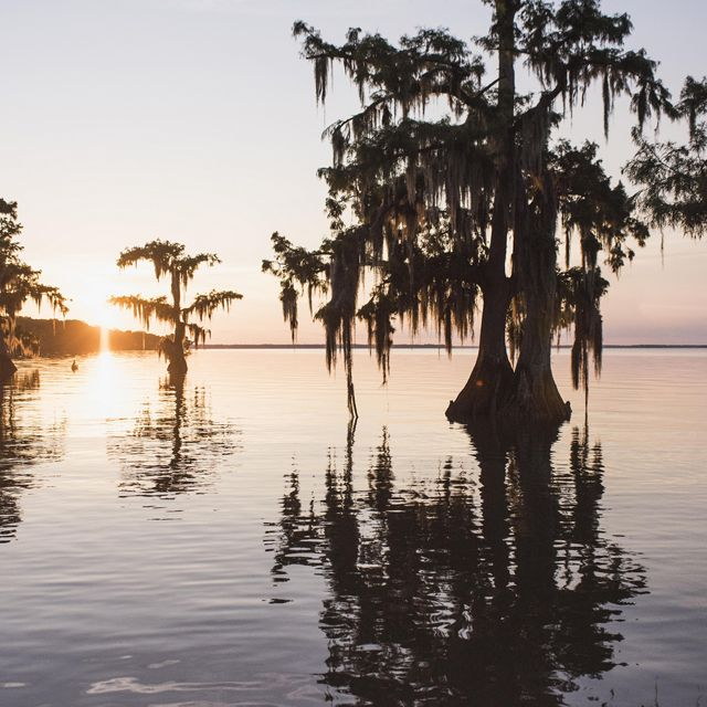 Cypress trees in Lake Fausse Pointe, Louisiana.