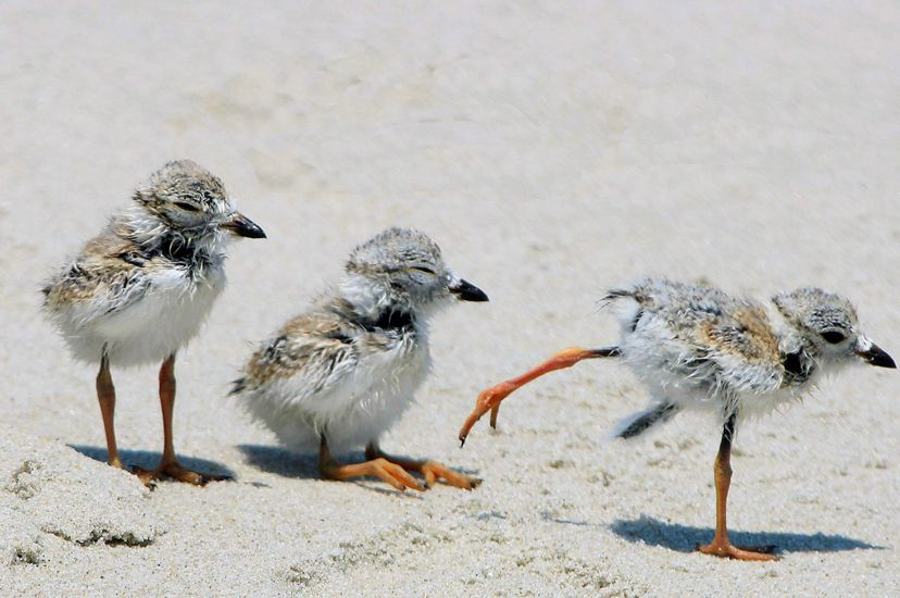 Three fuzzy white and gray piping plover chicks.
