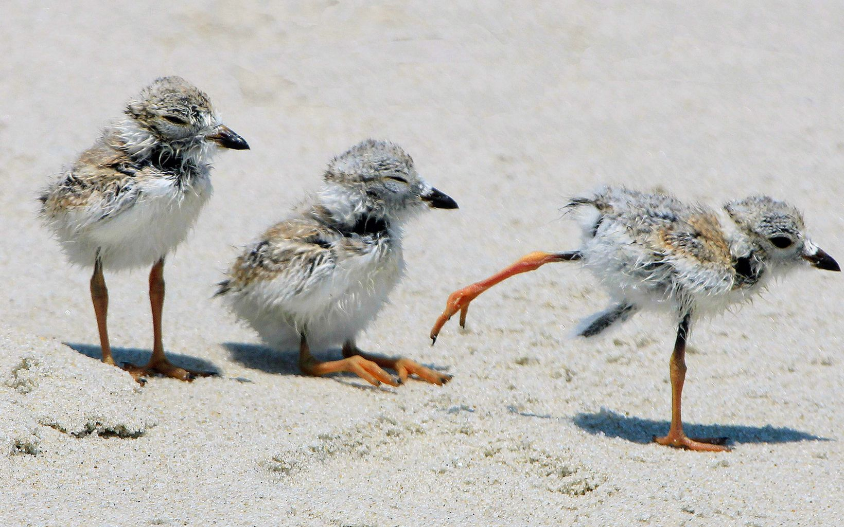 Three piping plover chicks on the beach at the South Cape May Meadows
