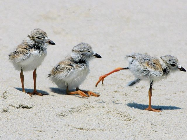 Piping Plover chicks on the property of the Beach Club of Cape May, Inc.
