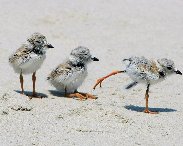 Three piping plover chicks on the beach.