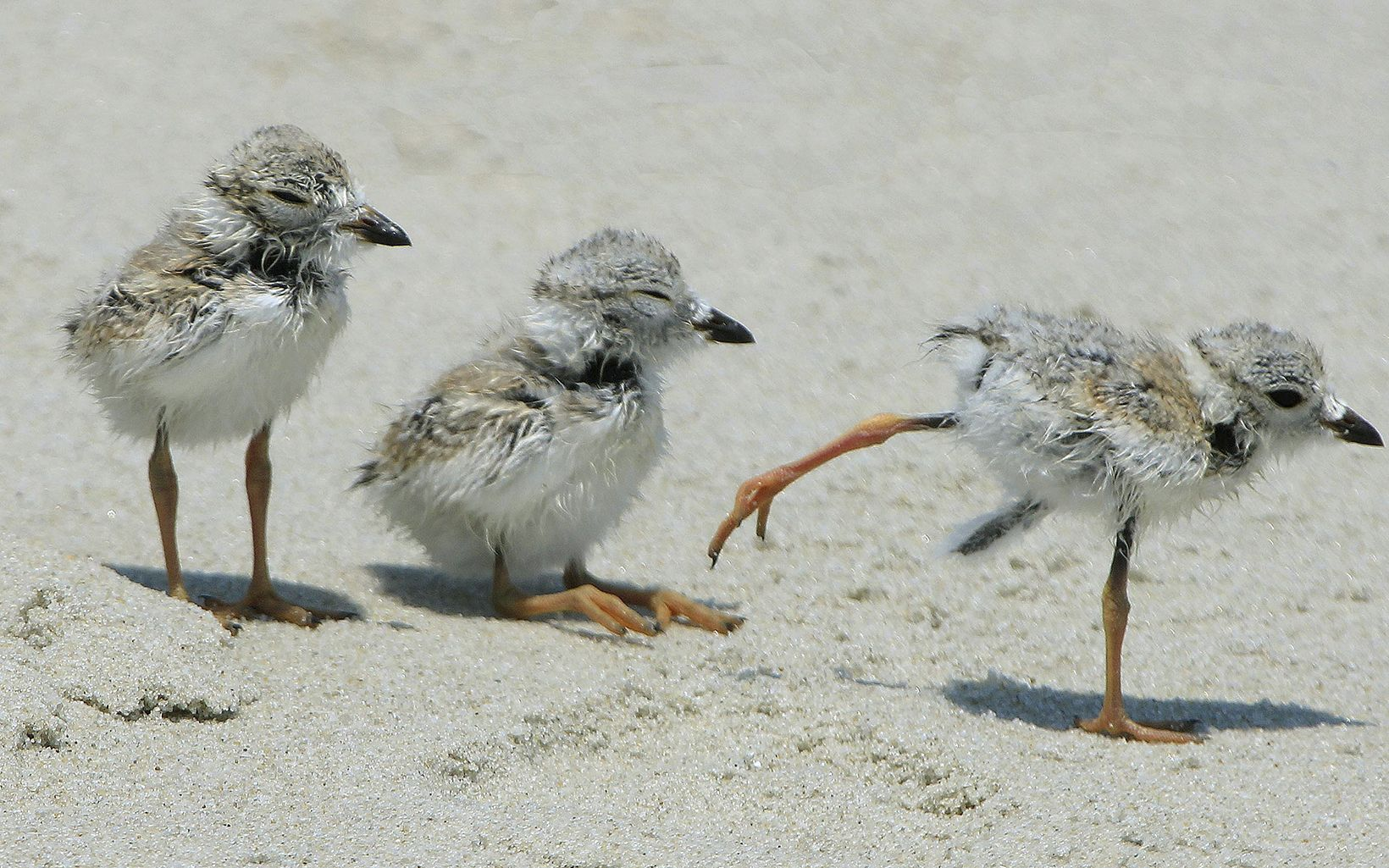 Three piping plover chicks are walking on a beach.