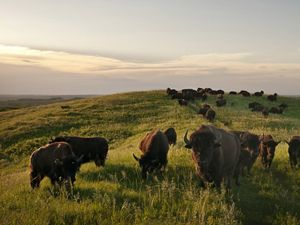 Grazing bison in the Loess Hills.