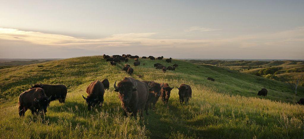 Bison herd at the Broken Kettle Grasslands Preserve.