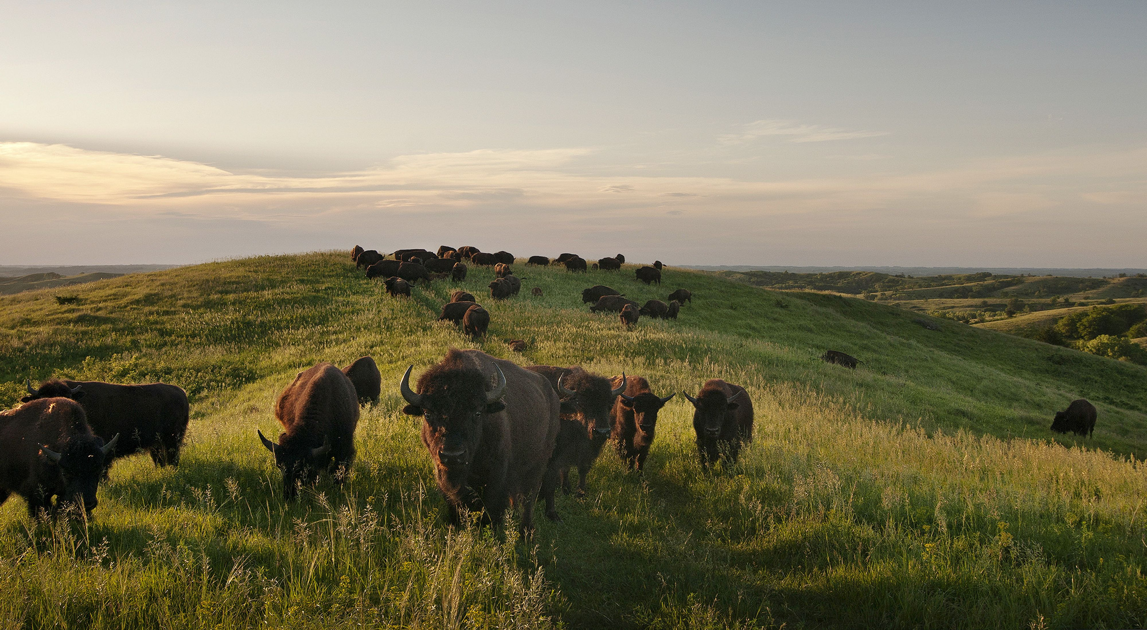 Bison at The Nature Conservancy's Broken Kettle Grassland Preserve in the Loess Hills of Iowa.
