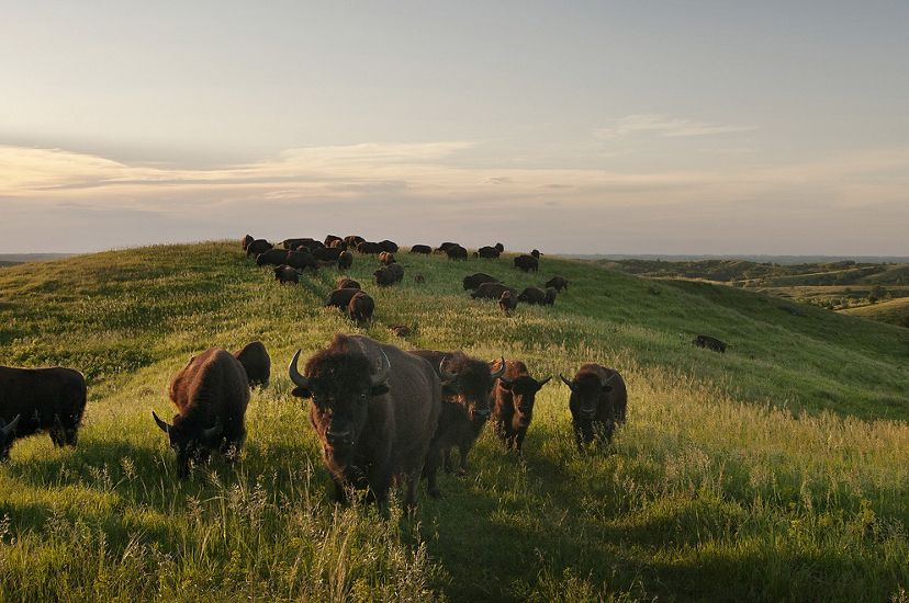 Bison grazing on rolling grasslands in late afternoon in the Loess Hills of Iowa.