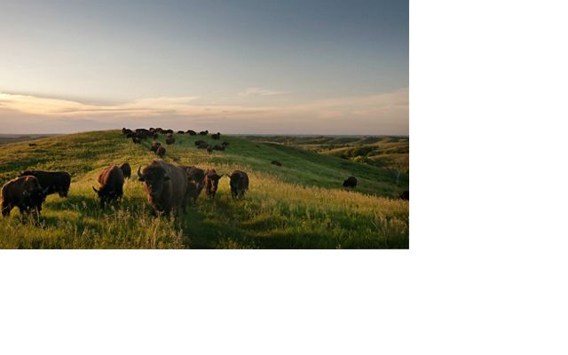 Overlooking the bison herd at the Broken Kettle Grasslands Preserve in the Loess Hills of Iowa which are known for resiliency in the face of climate change.