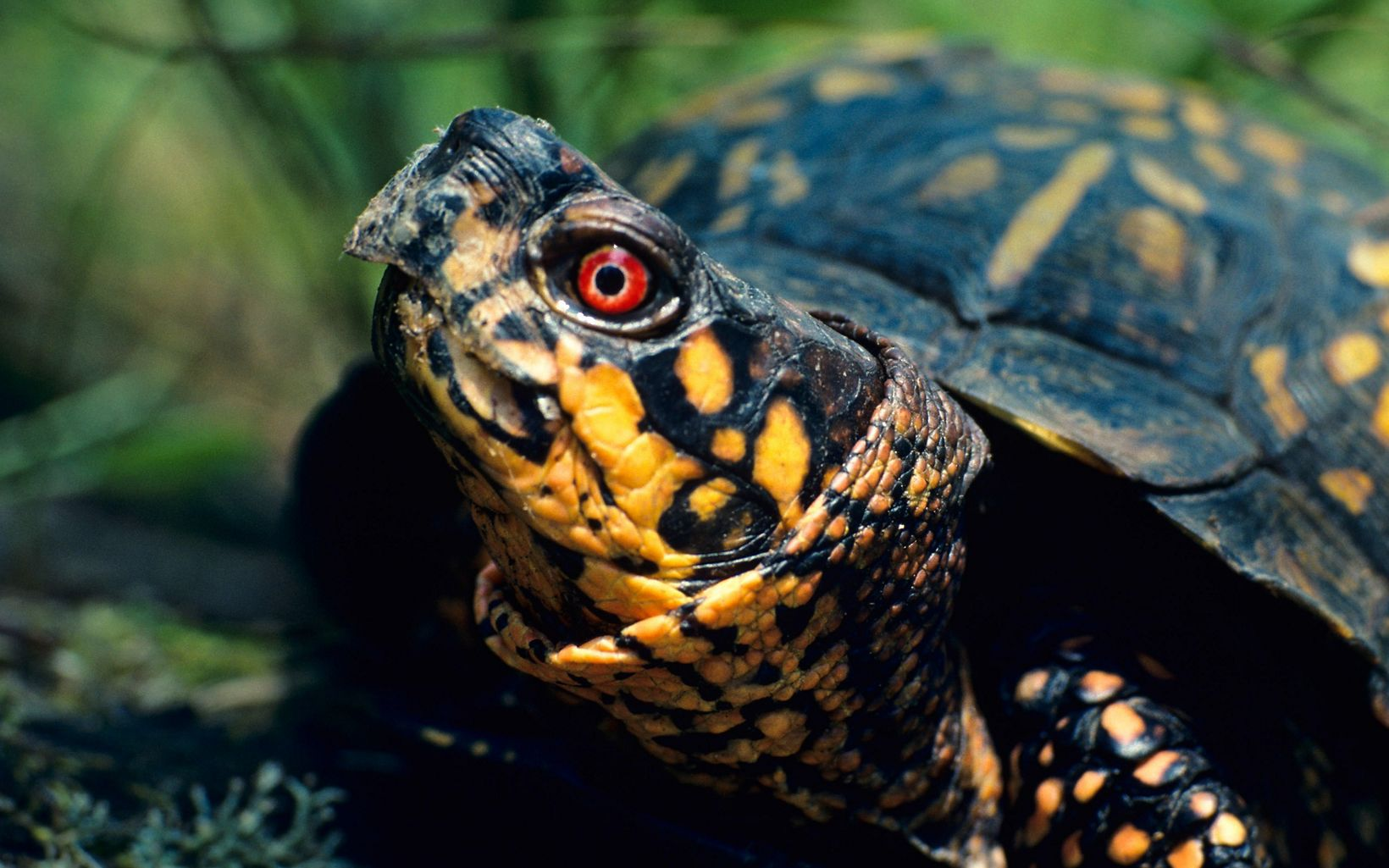 Box turtles such as this one can be found at Paw Paw.