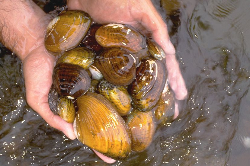Close up view of a man's cupped hands holding an assortment of freshwater mussels. The mussels vary in size and shades of color from brown to golden yellow.
