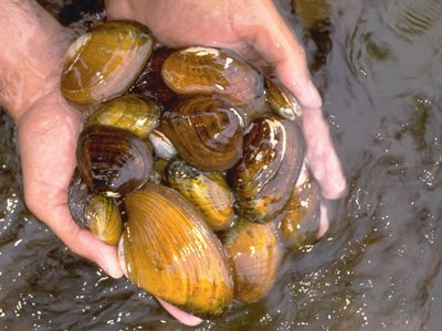 Photo of two hands holding variety of mussels over water.