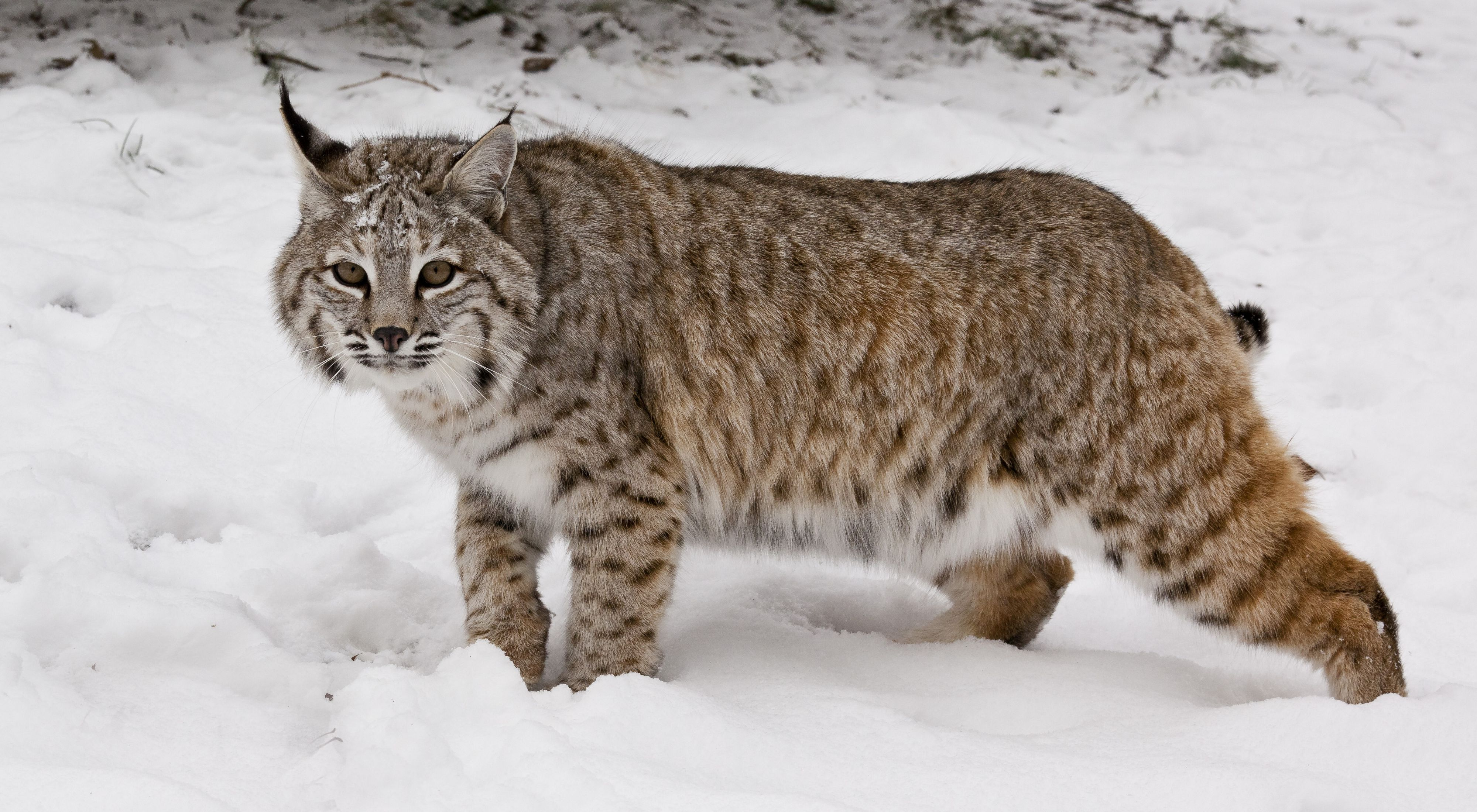 side view of a bobcat walking through the snow