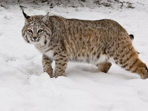 Side view of a bobcat in the snow.