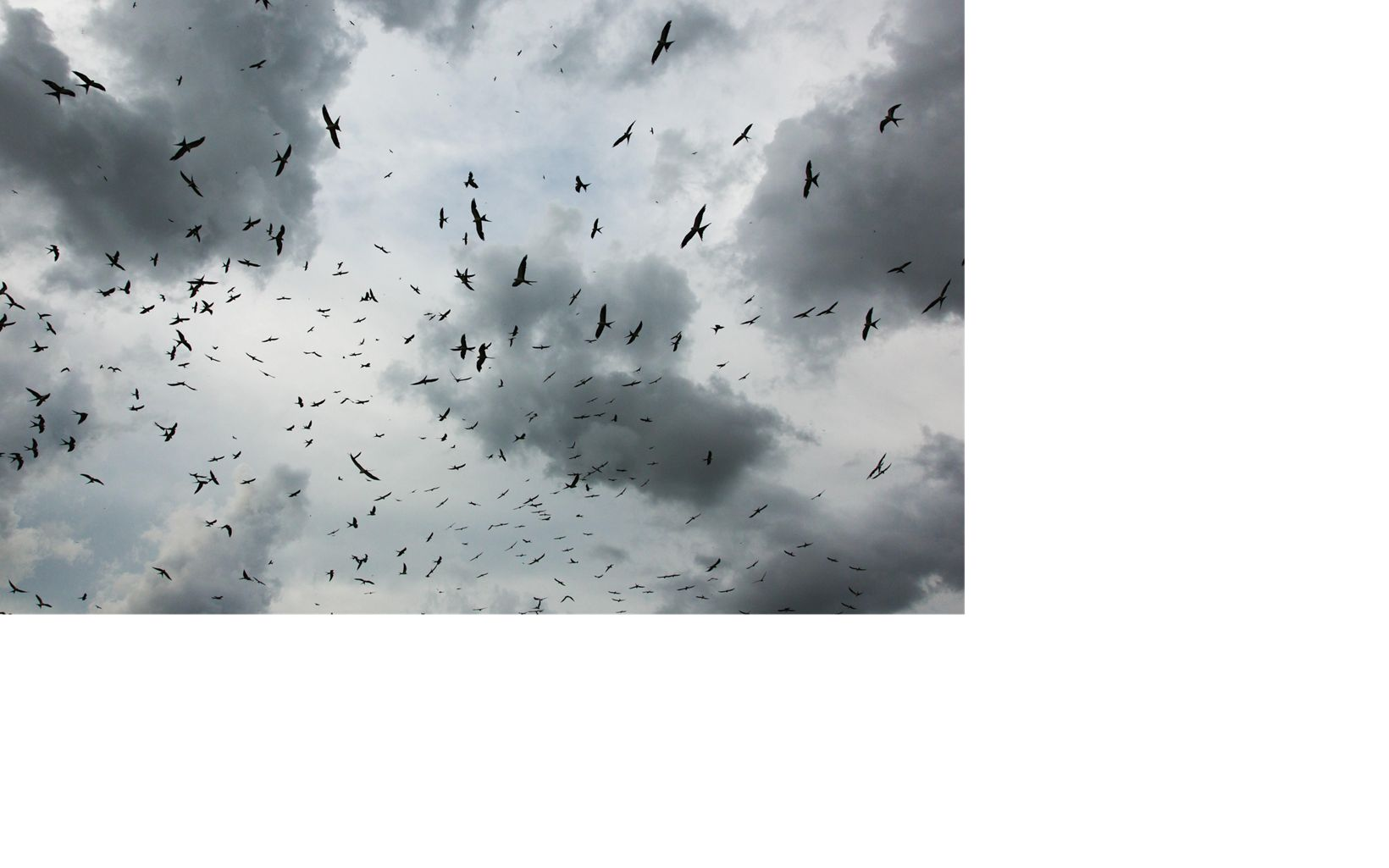 flock of birds in a cloudy sky