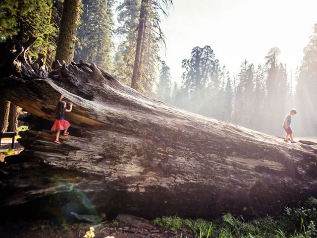 A boy walks along a downed sequoia as a girl starts climbing onto its trunk.