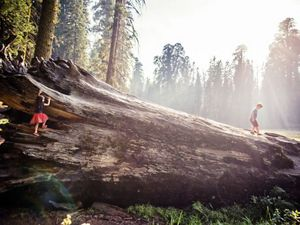 (ALL INTERNAL RIGHTS & LIMITED EXTERNAL RIGHTS) August 2015. Young children climbing on the base of a sequoia tree in Sequoia National Park in California to celebrate the National Park Services' 100th Anniversary. Photo credit: © Nick Hall