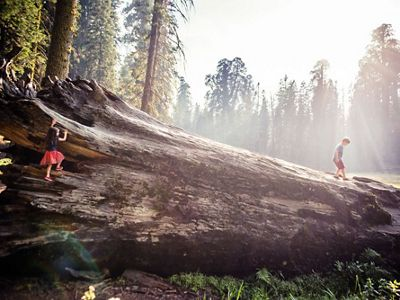 Children playing on a downed giant Sequoia log.