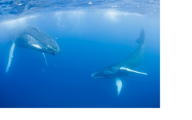 Two humpback whales