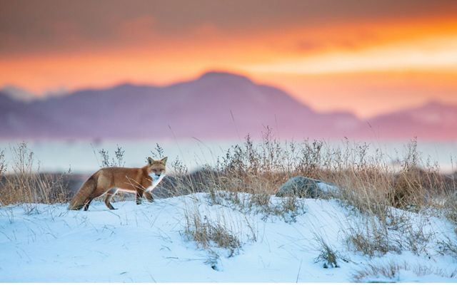Red fox running across snow at sunset