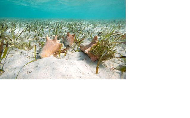 In the Bahamas, The Nature Conservancy collaborated with fishermen and the Department of Marine Resources (DMR) to use FishPath in the important Queen Conch Fishery.