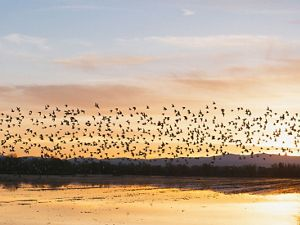 Migrating birds flying over flooded rice fields in Colusa, California.