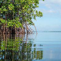 Red Mangrove (Rhizophora mangle) grows along the edge of Baie Liberte.