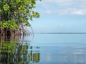 Red Mangrove grows along the edge of Baie Liberte.