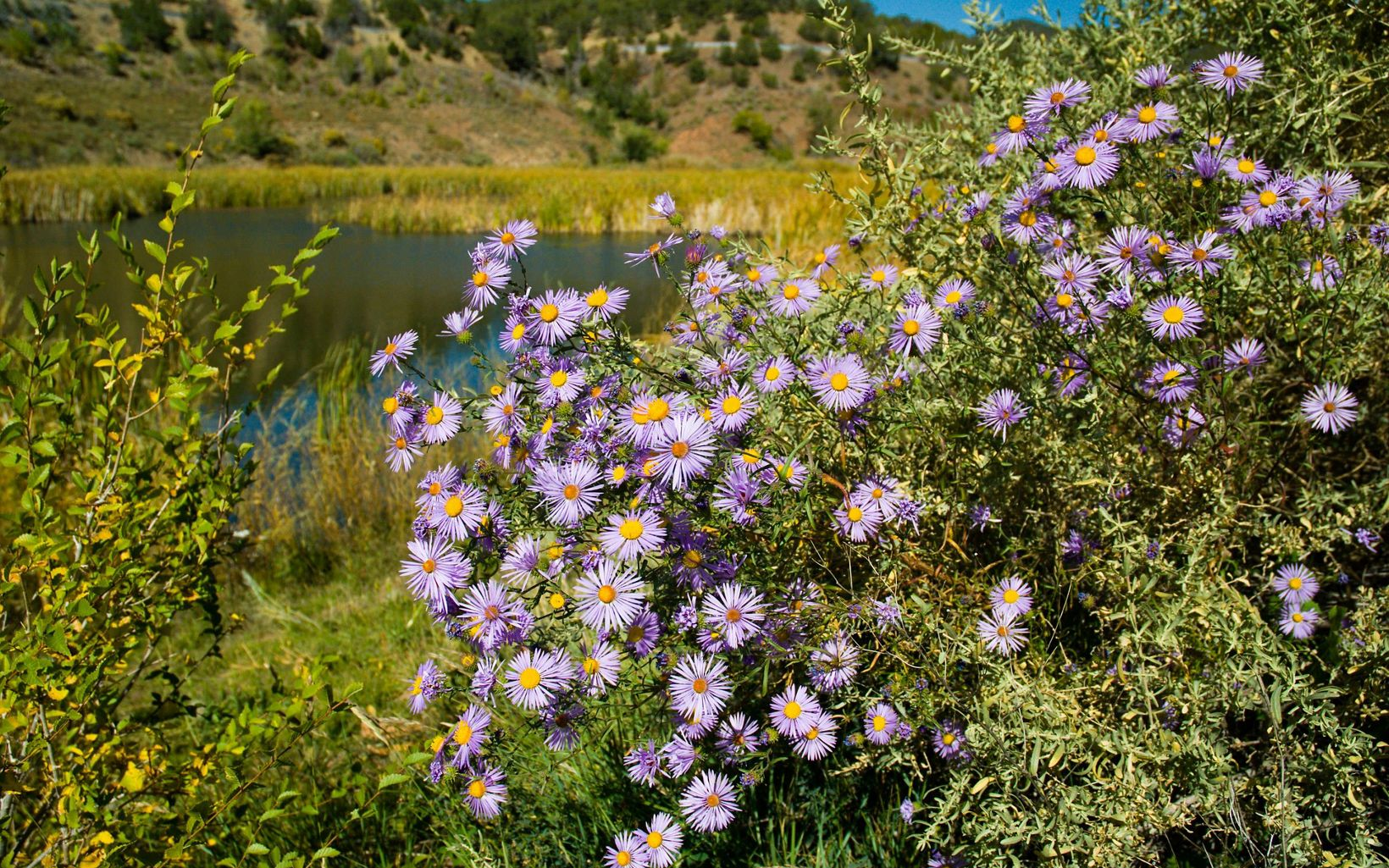 Asters near pond in Santa Fe Canyon, New Mexico.